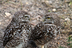 Burrowing owl couple Stock Photo