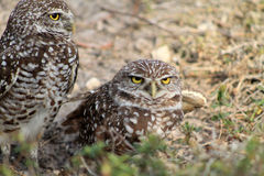 Burrowing owl couple Royalty Free Stock Image