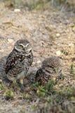 Burrowing owl couple Stock Photography