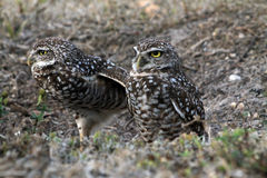 Burrowing owl couple Stock Photography