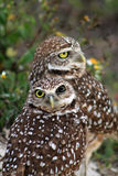 Burrowing owl couple portrait on field. South florida burrowing owl pair standing up on field with flowers and weird eye Stock Image
