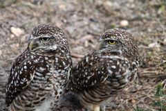 Burrowing owl couple in profile on field. South florida burrowing owl pair standing up on field Stock Photography