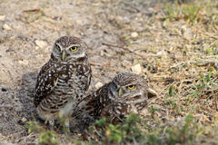 Burrowing owl couple in profile on field. South florida burrowing owl pair standing up on field Royalty Free Stock Image