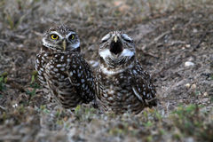 Burrowing owl couple while yawning on field. South florida burrowing owl pair standing up on field while one yawns other looks straight Royalty Free Stock Photos