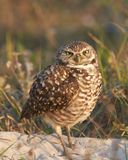 Burrowing Owl With Crossed Eyes Foto de Stock Royalty Free