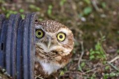 Burrowing Owl in culvert. Canada Stock Photo