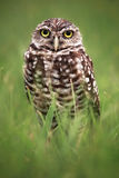 Burrowing Owl. A curious wild burrowing owl in the Southwest area of Florida Stock Image