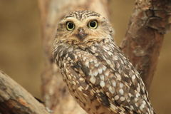 Burrowing owl. The detail of burrowing owl Stock Photos