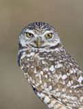 Burrowing Owl with discolored eyes Stock Photography