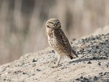 Burrowing Owl in Eastern Washington Royalty Free Stock Images