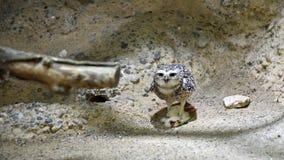 Burrowing Owl Eating um rato foto de stock royalty free