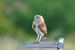 Burrowing Owl on Empty Sign - Large File - Green Background. Closeup of a Burrowing Owl perched on a sign Royalty Free Stock Image