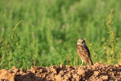 Burrowing Owl on Ground - Large File - Green Background. Closeup of a Burrowing Owl standing in front of a field Royalty Free Stock Images