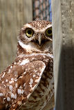 Burrowing Owl on enclosed window seal Stock Photo