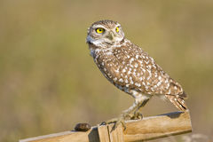 Burrowing Owl expelled a pellet. A Burrowing Owl has successfully expelled the pellet Royalty Free Stock Photography