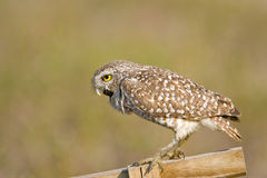 Burrowing Owl expelling a pellet. A Burrowing Owl expelling a pellet of indigestible materials like bones Royalty Free Stock Images