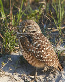 Burrowing Owl with Eyes Closed Royalty Free Stock Images