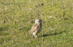 Burrowing owl on the field grass Royalty Free Stock Images