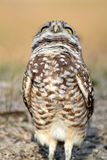 Burrowing owl on field looking up Stock Photo