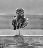 Burrowing Owl Flasher Royalty Free Stock Photos