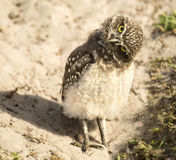 Burrowing Owl Fledglings Stock Afbeeldingen