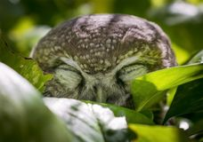 Burrowing Owl In The Garden. royalty free stock photo
