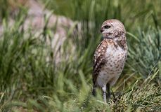 Burrowing Owl. A burrowing owl in grass Stock Images