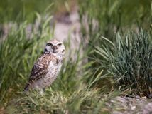Burrowing Owl. A burrowing owl in grass Royalty Free Stock Image