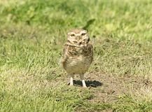 Burrowing owl on the grass field Stock Photos