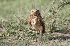 Burrowing owl on the grass in Venezuela. Burrowing owl staying on the grass in Venezuela stock photos