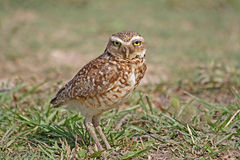 Burrowing owl on the grass in Venezuela. Burrowing owl staying on the grass in Venezuela stock photography