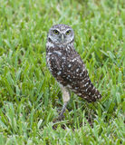 Burrowing Owl in Green Grass Royalty Free Stock Photography