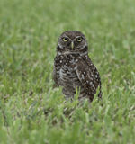Burrowing Owl in Green Grass Stock Images
