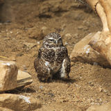 Burrowing Owl on the Ground Royalty Free Stock Photography