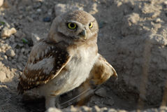 Burrowing Owl with injuried wing. Burrowing Owl with injured wing near Boise, Idaho Royalty Free Stock Image