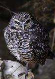 Burrowing Owl on a Log stock photos