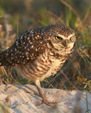 Burrowing Owl Looking Angry Royalty Free Stock Images