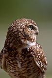 Burrowing Owl looking away Royalty Free Stock Photo