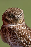 Burrowing Owl looking away Royalty Free Stock Photos