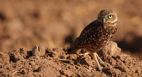 Burrowing Owl Looking Back. A Burrowing Owl looking back from outside its den in southern California Stock Image