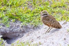 Burrowing Owl Looking For Danger Near Zijn Nest royalty-vrije stock afbeeldingen
