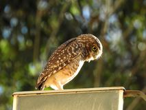 Burrowing owl looking down on blurry green background stock photography