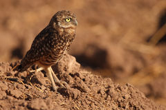 Burrowing Owl Looking Out. A Burrowing Owl looking out and away from its burrow near the Salton Sea in southern California Royalty Free Stock Photos