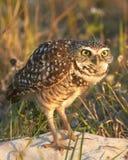 Burrowing Owl Looking Surprised Imagens de Stock