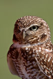 Burrowing Owl looking at you Royalty Free Stock Photo