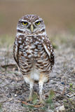 Burrowing owl making eye contact facing straight. South florida burrowing owl standing up on field Stock Image
