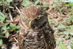 Burrowing owl menacing look Royalty Free Stock Photography