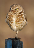 Burrowing Owl morning sun on a fence post Royalty Free Stock Photos