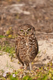 Burrowing Owl. Next to his nest in the ground of a tropical public park Stock Image