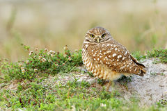 Burrowing Owl next to nest royalty free stock images